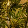 Can marijuana treat glaucoma?